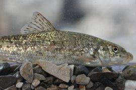 Evoluční vztahy mezi parmami rodu Barbus (Cyprinidae) s důrazem na Řecko