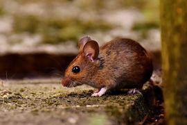 Vylepšená kalibrácia molekulárnych hodín pre myšovité hlodavce (Murinae)
